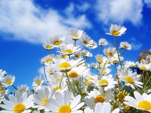 spring_daisy
